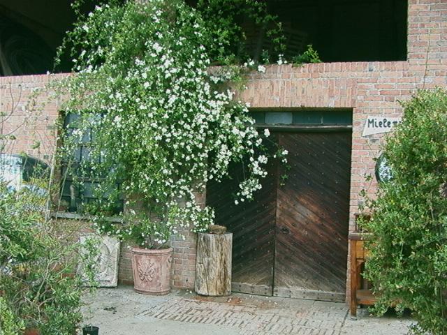 Fiorella gilli vivaio giardino catalogo rose rampicanti - Rose coltivazione in giardino ...